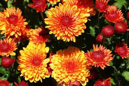 Сайт homesgardens.ru – ваш друг и помощник в уходе за хризантемами