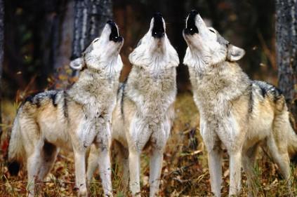 Фотоловушка подтвердила: в Чехию спустя столетие вернулись волки