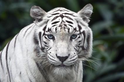 Из зоопарка в Либерце сбежал белый тигр