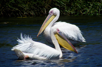 Елизавета II получит трех пеликанов от пражан